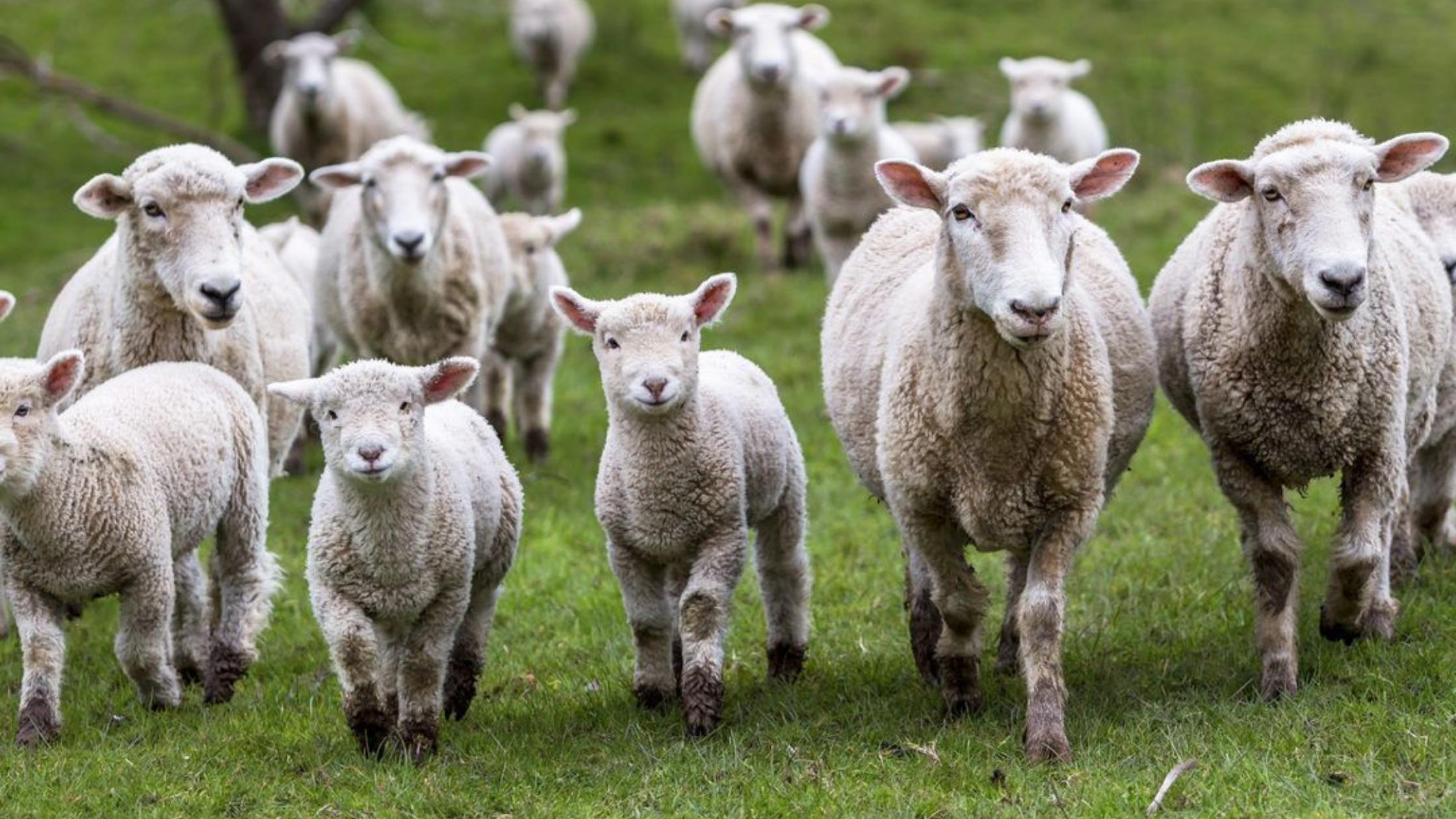 Carne ovina, nueva opción para la ganaderia en Colombia