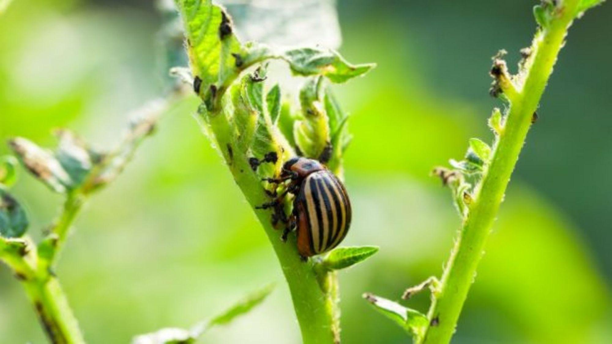 ¿Cómo impactan las plagas la agricultura a nivel mundial?
