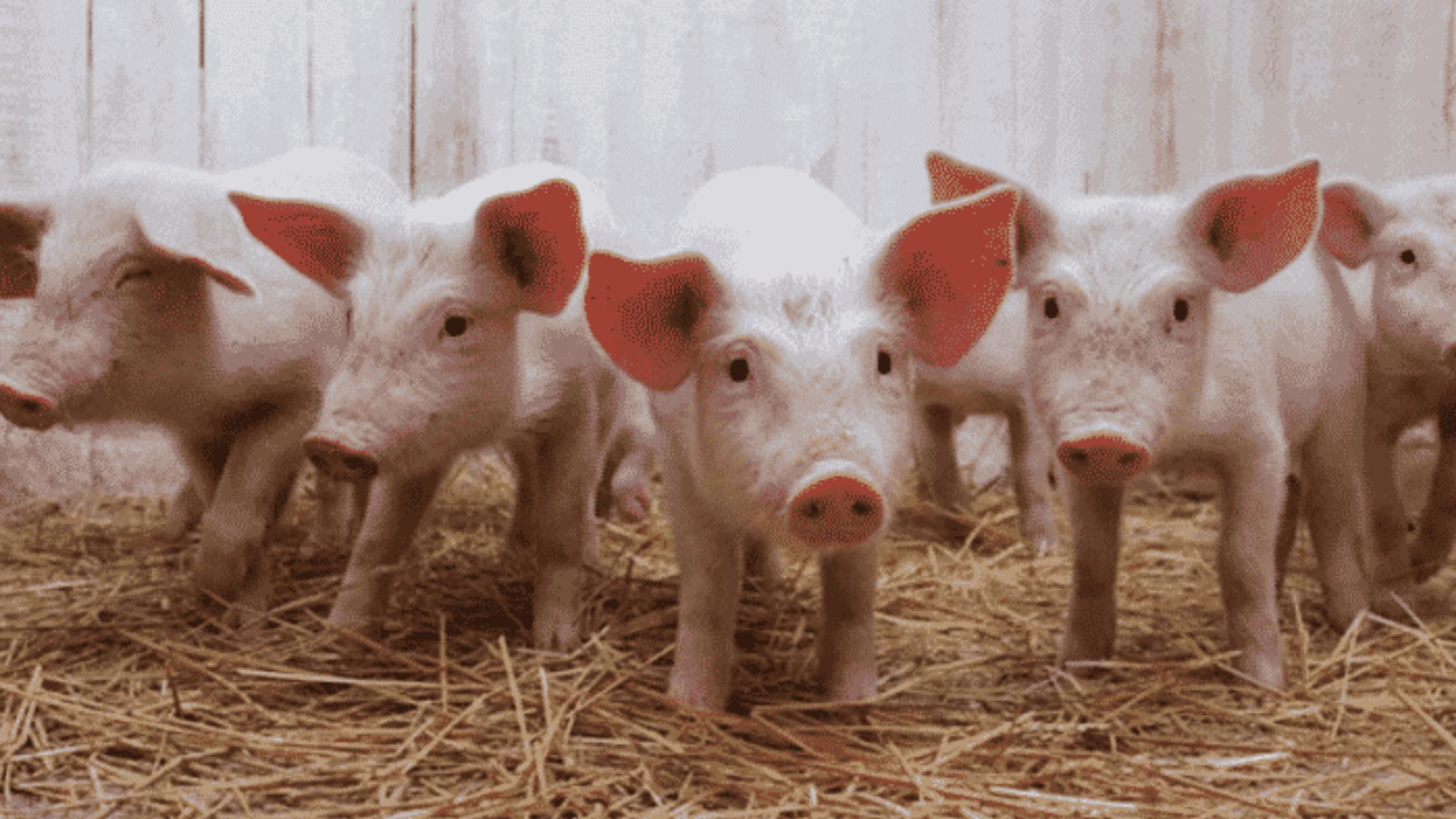 5 tips para el cuidado del ganado porcino