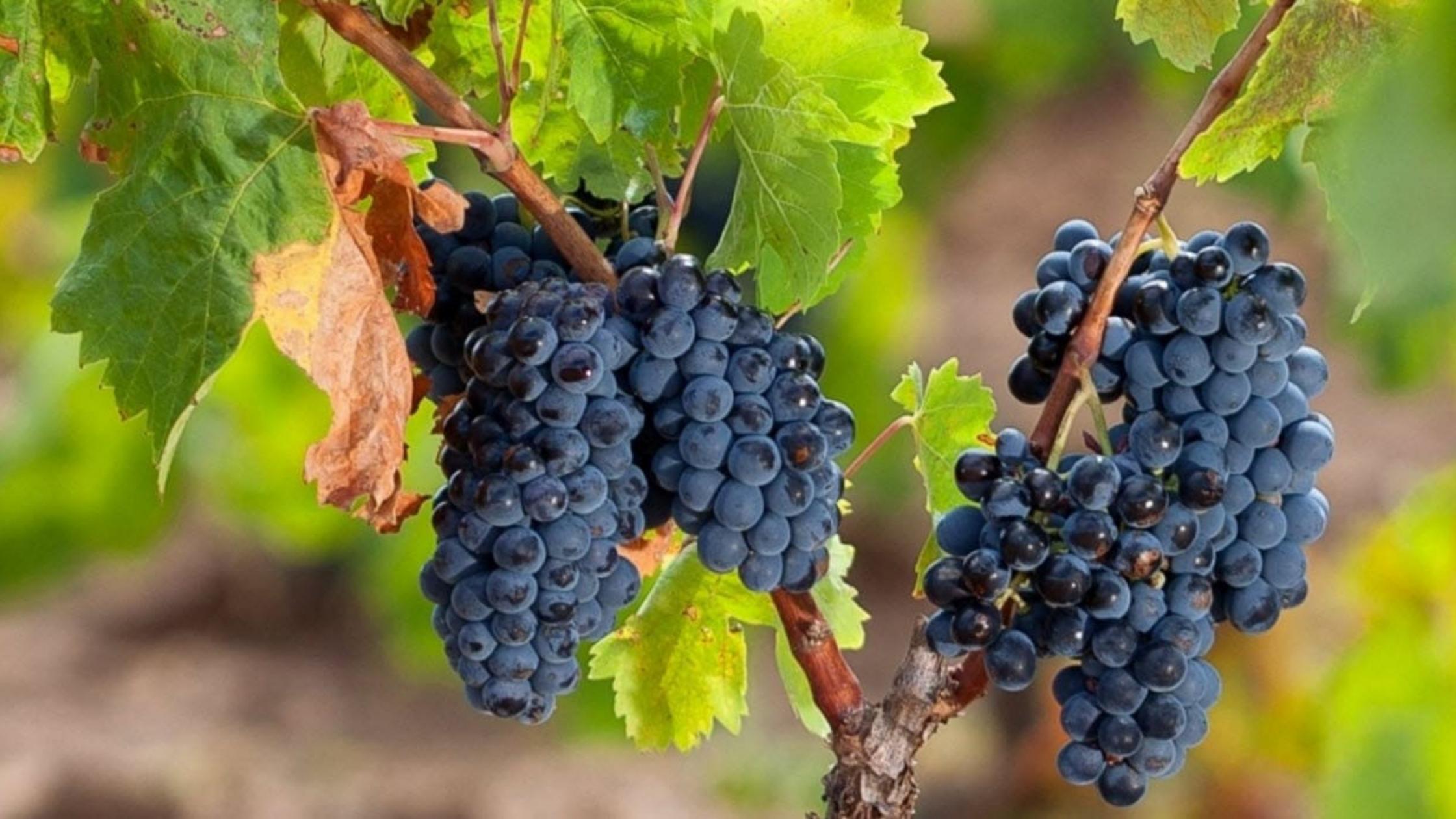Desechos de uva podrían ser utilizado como materia prima para farmacéuticas y cosméticos