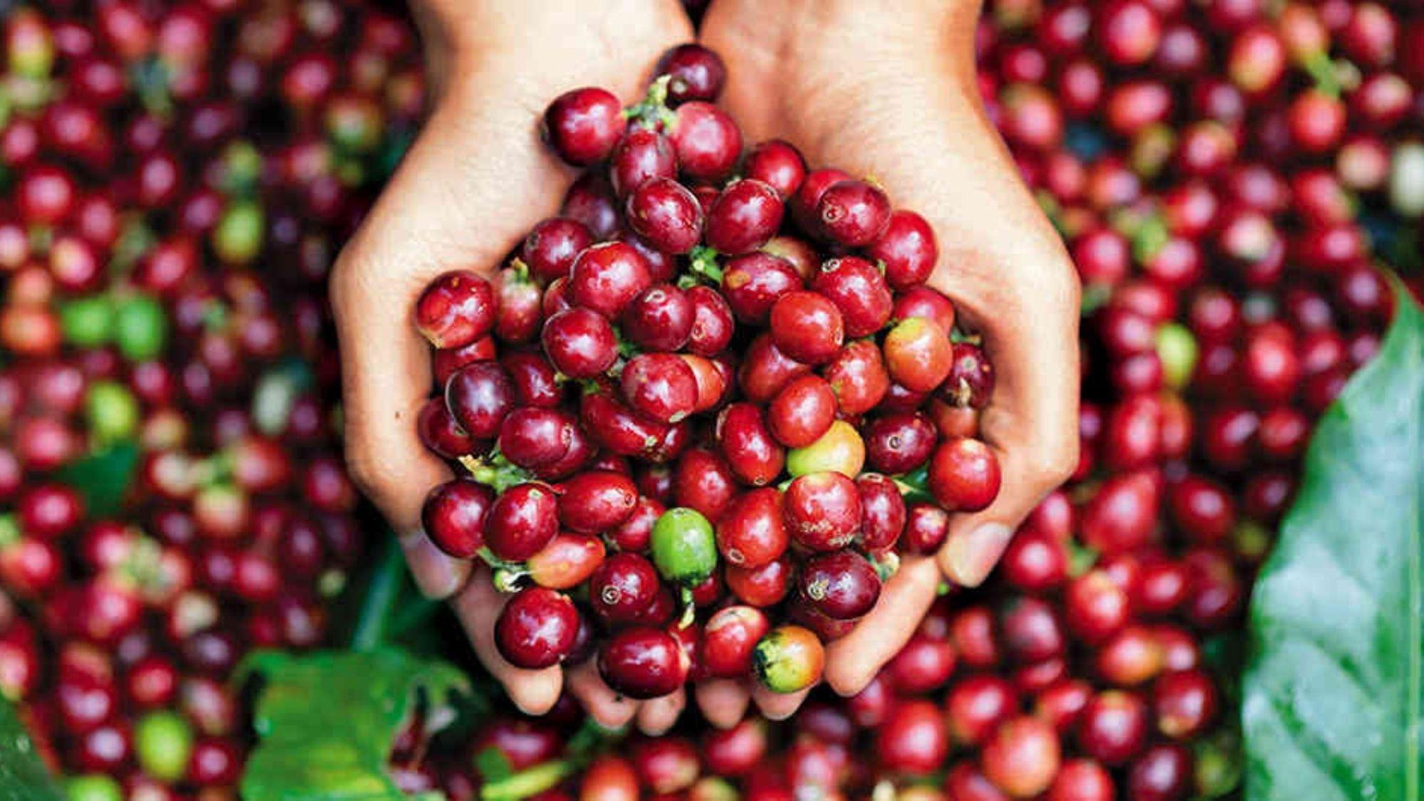 Claves para cosechar café a bajo precio