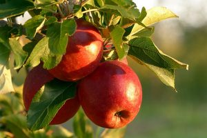 Growing An Apple Tree In Your Yard