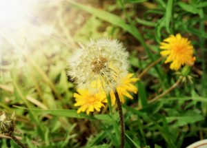 Tips To Kill Dandelions And Other Weeds Organically