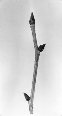 black tupelo twig