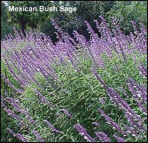 Mexican bush sage