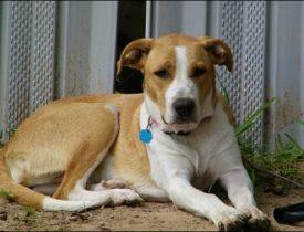 tan white dog Chena