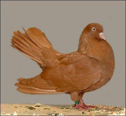 Oriental RollerpigeonbyJim Gifford