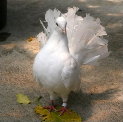 Fantail pigeonbyawayukin