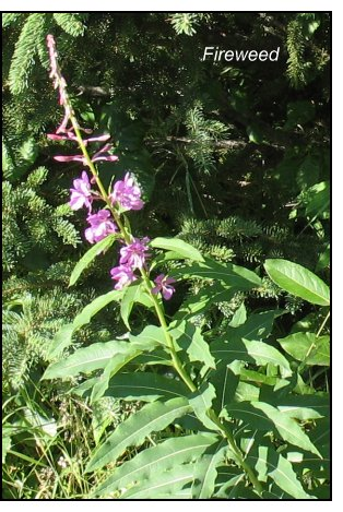 mineral-rich weeds, fireweed