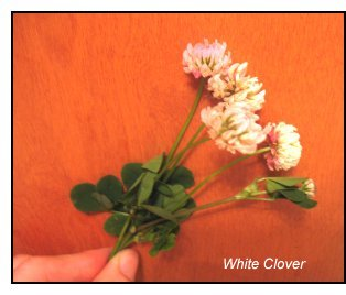 mineral-rich weeds, white clover