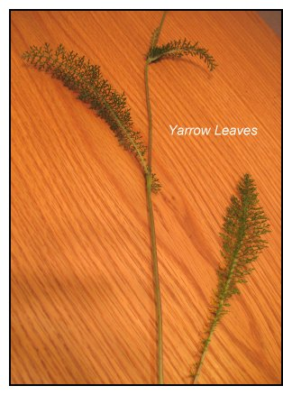 mineral-rich weeds, yarrow leaves
