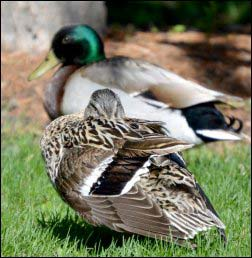 Adding Ducks To The Homestead | A Beginners Guide to Raising
