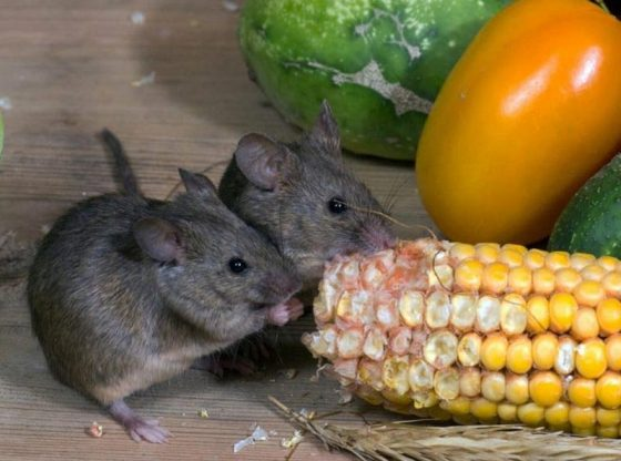 Preventing Mouse Damage on the Homestead, baby mice, homesteading