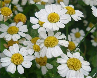 facts about Feverfew growing tips, yellow and white flowers closeup