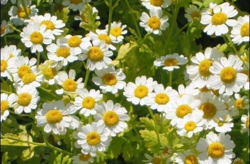 yellow and white flowers, facts about Feverfew growing tips