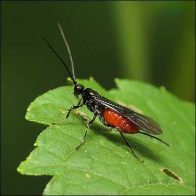 braconid wasp beneficial bugs