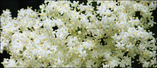 Elder flowers edible landscaping