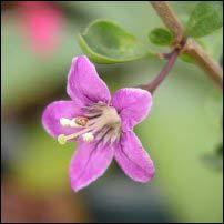 Goji berry flower edible landscaping