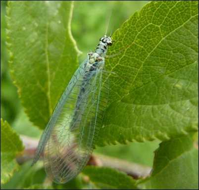 Green lacewing beneficial bugs