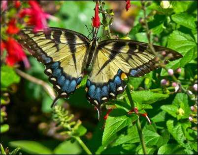 tiger swallowtail beneficial bugs