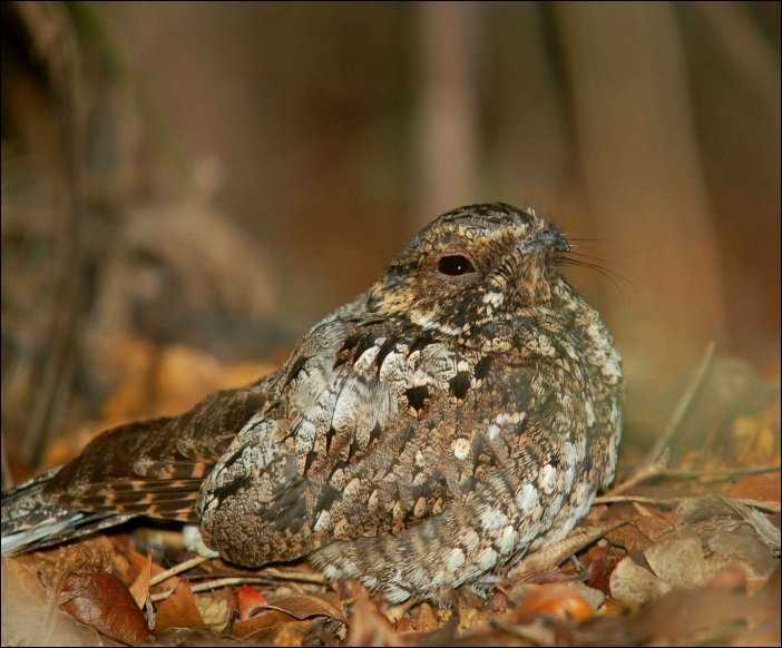 Whip-poor-will Whippoorwill