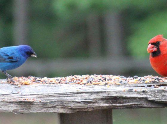 Backyard bird feeding - Backyard Bird Feeding On The Homestead - Homestead.org