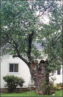 Johnny Appleseed tree