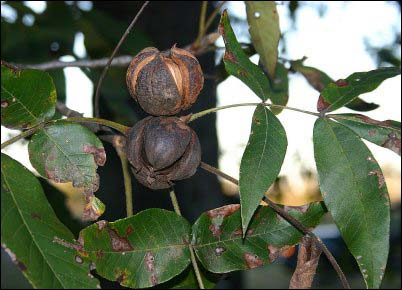 hickory gathering wild nuts
