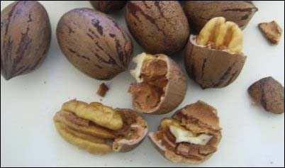 pecans gathering wild nuts