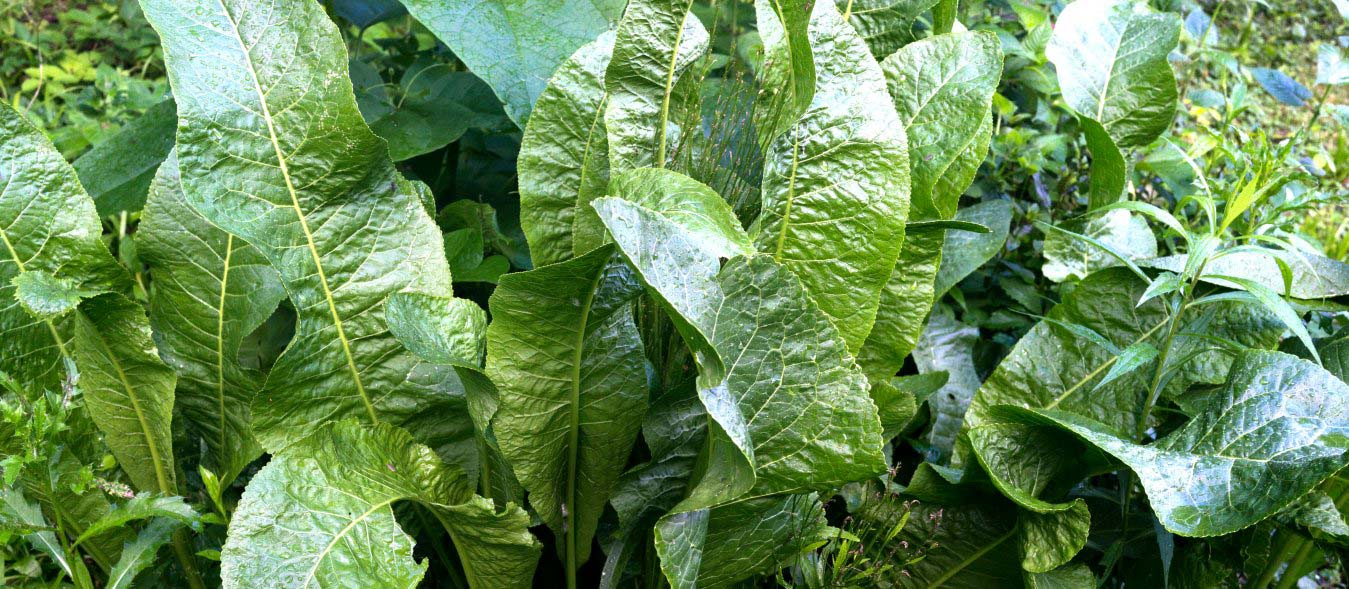 growing horseradish alternative crop