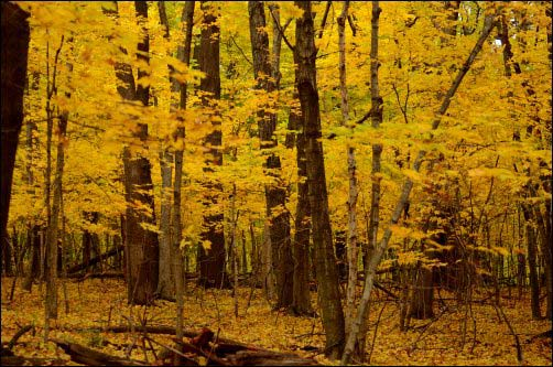 yellow fall leaves where i am hunting puffball mushrooms