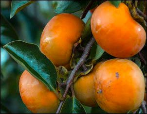 Growing Persimmons From Seed
