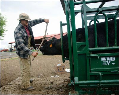 dehorning, animal first aid, homesteading