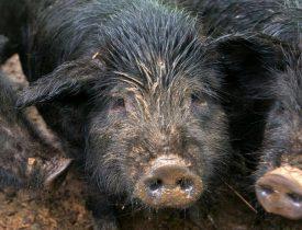Raising American Guinea Hogs on the Homestead, homesteading