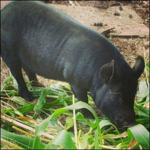 American Guinea Hog eating cornstalk, homesteading