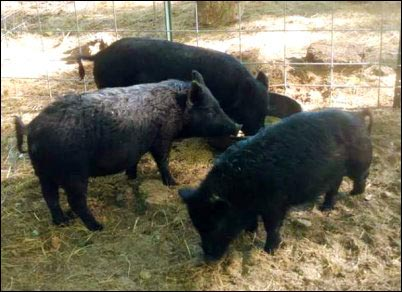 American guinea hogs homesteading