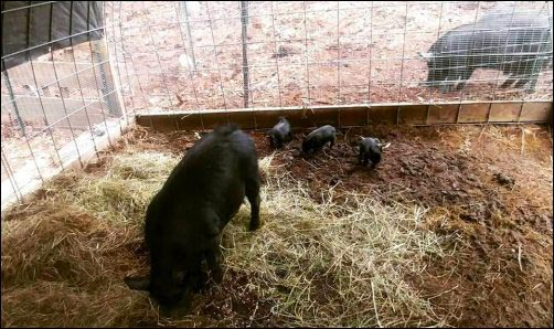 homesteading heritage hog piglets