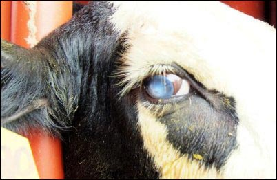 bovine pinkeye, homesteading animal first aid