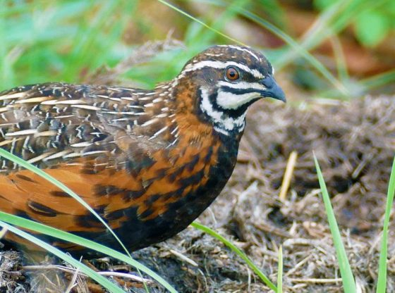 Homesteading, Raising Coturnix Quail on the Homestead