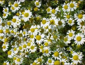 chamomile flowers, chamomile growing tips, facts about chamomile, chamomile fun facts, chamomile history
