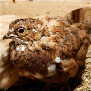 Raising Coturnix Quail on the Homestead, incubating quail eggs, hatching quail eggs, raising quail, quail chicks, homesteading