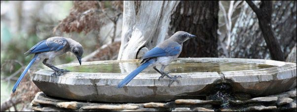 scrub jay in birdbaths, Becoming a Certified Wildlife Habitat, homesteading, homestead, creating Wildlife Habitat