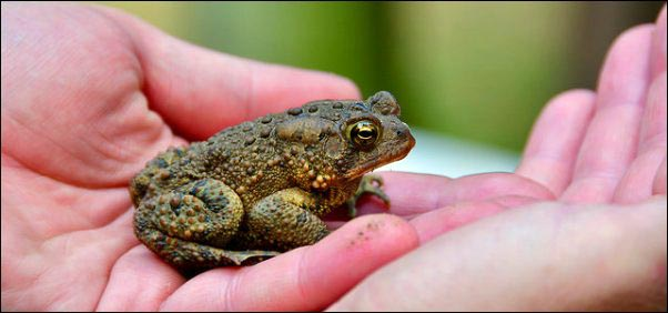 Toad in hand, Becoming a Certified Wildlife Habitat, homesteading, homestead, creating Wildlife Habitat