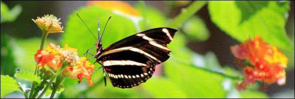 Zebra Longwing Butterfly, Becoming a Certified Wildlife Habitat, homesteading, homestead, creating Wildlife Habitat