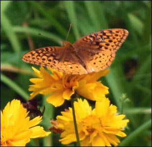 Great-Spangled-Frittilary-on-Coreopsis, Growing a Butterfly Garden, Host Plants to Attract Butterflies, Attracting butterflies with host plants, raising butterflies for profit, homesteading, homestead