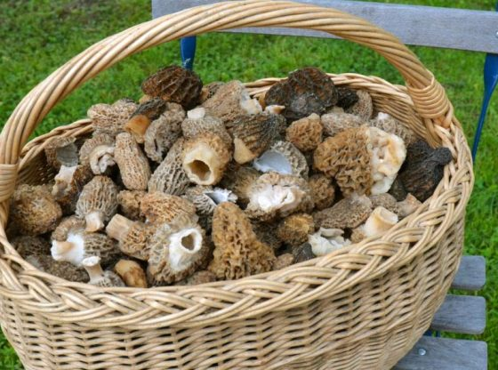 Wicker basket of morel mushrooms, morel hunters, Hunting Morels, Foraging for Morel Mushrooms, morel mushrooms, how to find morels, morel hunting for beginners, homesteading, homestead