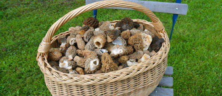 Wicker basket of morel mushrooms, morel hunters, Hunting Morels, Foraging for Morel Mushrooms, morel mushrooms, how to find morels, morel hunting for beginners, homesteading, homestead