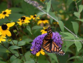 Growing a Butterfly Garden, Host Plants to Attract Butterflies, Attracting butterflies with host plants, raising butterflies for profit, homesteading, homestead