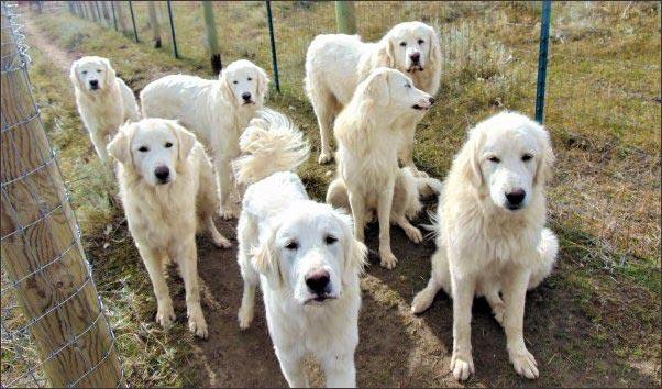 livestock guardian dog runway