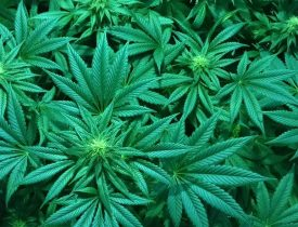 Cannabis, Cannabis 101, What is THC, What is Cannabis, Cooking with Cannabis, homesteading, homestead